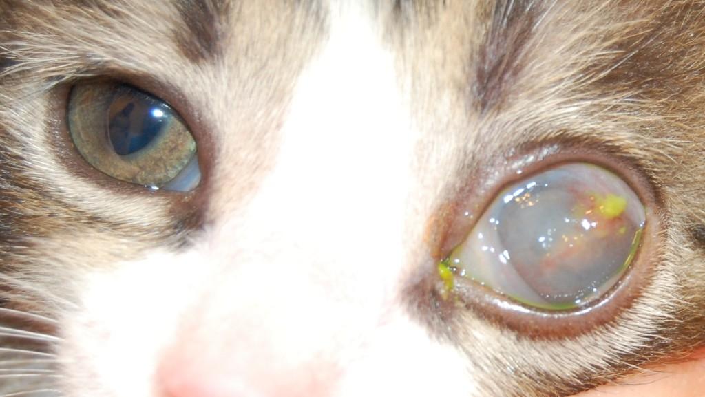 кератит у кошек лечение