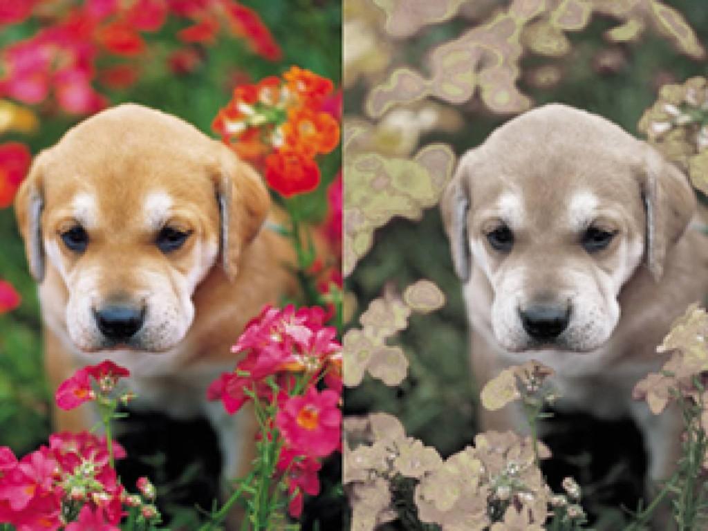 собаки дальтоники или нет