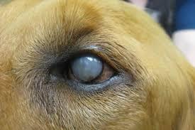 Бельмо у собаки - лечение