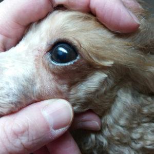 бельмо у собаки лечение