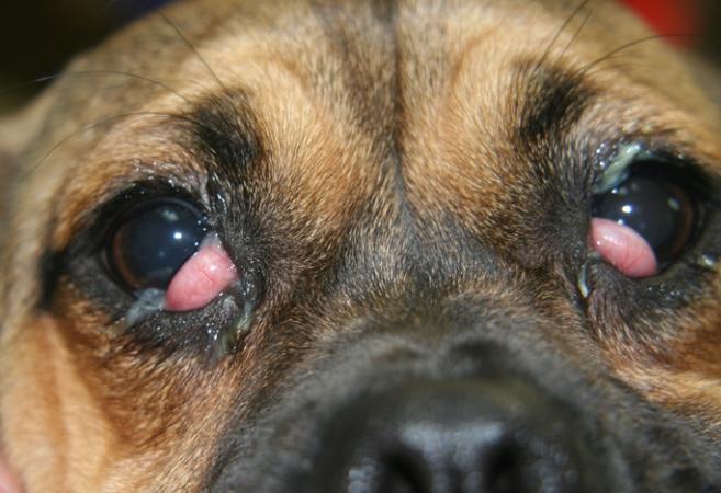 третье веко у собаки, лечение