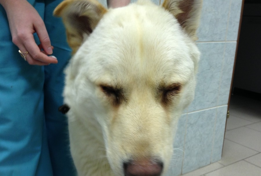 блефароспазм у собак
