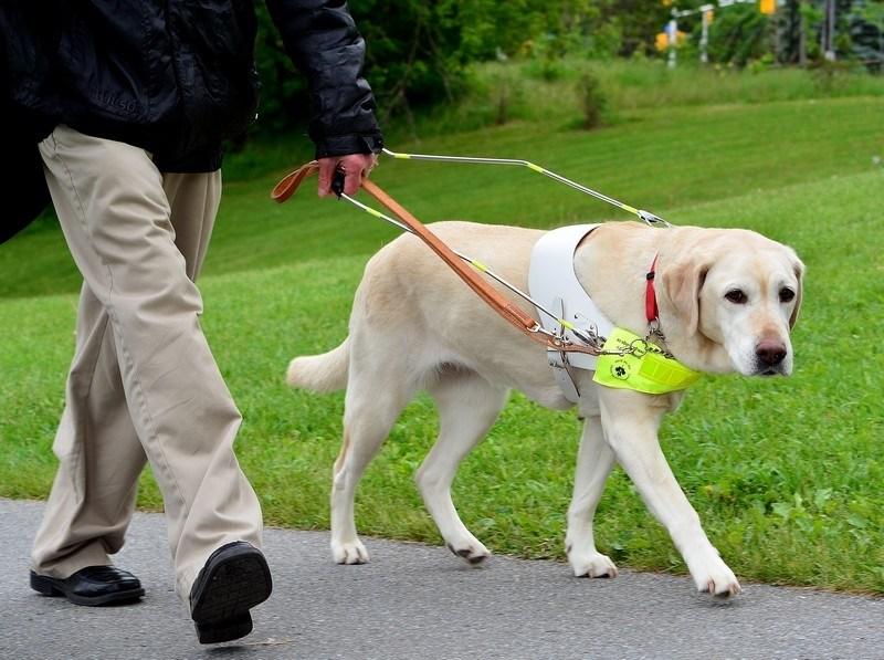 Как работает собака-поводырь